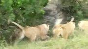 جنگ قبیله ای شیر ها
