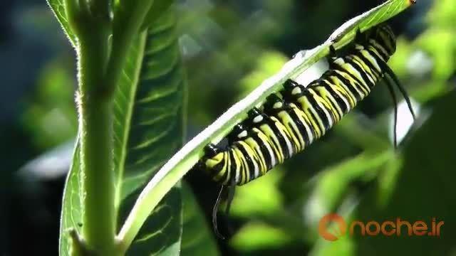 فرآیند تبدیل شدن کرم به پروانه ای زیبا
