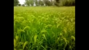 طبیعت آرامش بخش مزارع برنج روستای دافچاه