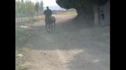 اسب کرد 6 ساله(فروشی)مهدی جوان09149565637
