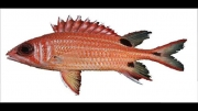 انواع ماهی در ایران