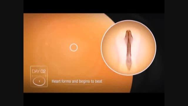 مراحل رشد جنین در طیور