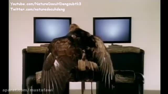دانلود مستند پرندگان شکاری (زبان انگلیسی)