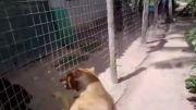 سگ پیتبول و روتوایلر