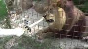 بستنی خوردن شیر نر در باغ وحش