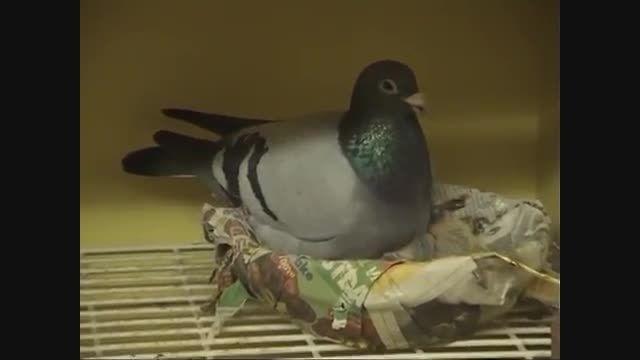 موسسه تحقیقات باروری بهترین کبوتر مسابقه در کشور بلژیک