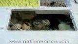 بیرون آمدن جوجه ها از تخم در دستگاه جوجه کشی