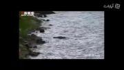 فیلم/ تمساح تمساح خوار!