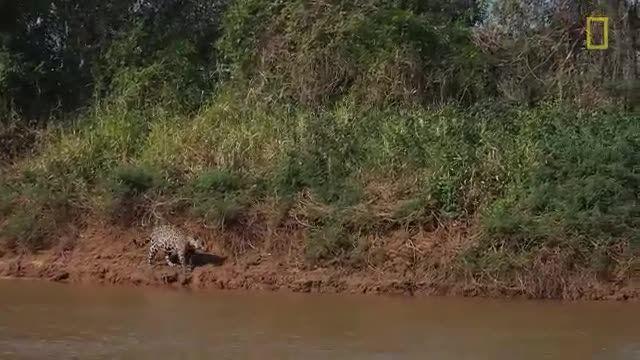 BestiWall.com - جدال تماشایی پلنگ در برابر تمساح