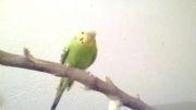 مرغ عشق سبز ماده (پوریا 53)