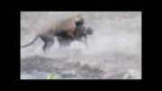 شکار گراز نر بالغ بدست ببر ( توله ببر 16 ماهه ماده )