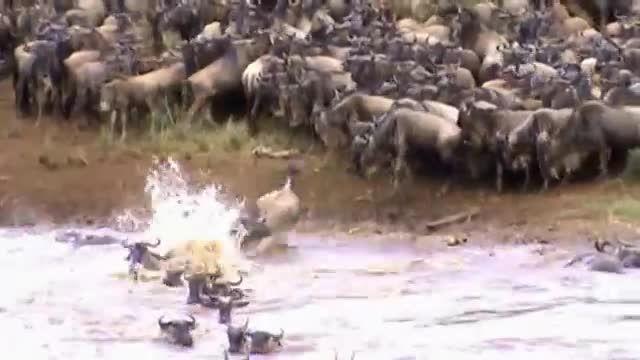 فیلم شگفت انگیز عبور هزاران گوزن یالدار از رودخانه MARA