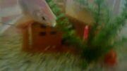 آکواریوم هایم گلدفیش ماکرواسکار گوپی