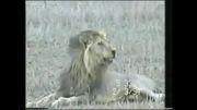 لحضه وحشت ناک {شیر }جداشدن روح یک شیر ازجسمش
