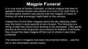 مراسم تدفین زاغ