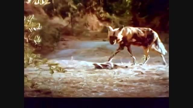 کشته شدن شیر توسط سگ(سگها بر روی جنازه شیر)