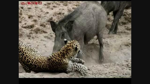 10 جنگ واقعی حیوانات  فیلم کلیپ راز بقا گلچین صفاسا