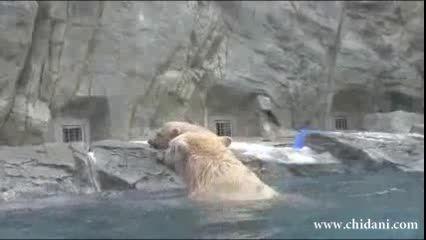 نجات بچه خرس از غرق شدن توسط خرس مادر