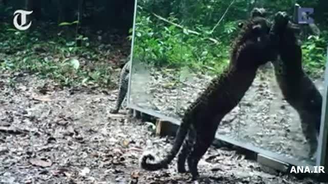 آیینه بازی حیوانات در جنگل