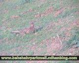 مشاهده قرقاول ماده در هزار جریب بهشهر