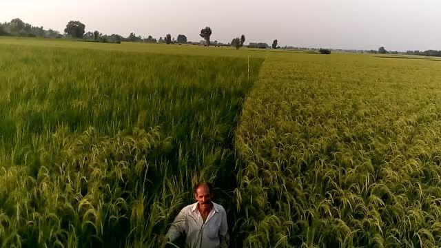 شالیزار برنج ارگانیک