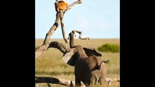 شیر از ترس فیل بالای درخت رفته شما بفرمایید سلطان جنگل