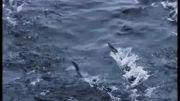 کلیپ جذاب و دیدنی پرواز ماهی