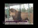 سوختن شیر در باغ وحش مشهد.1390/07/30