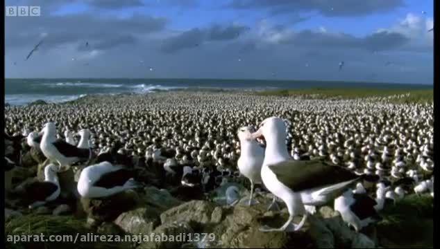 تجمع میلیون ها مرغ دریایی در کنار ساحل-باورنکردنی