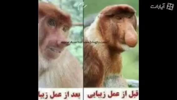 وقتی میمون عمل جراحی زیبایی  میكنه