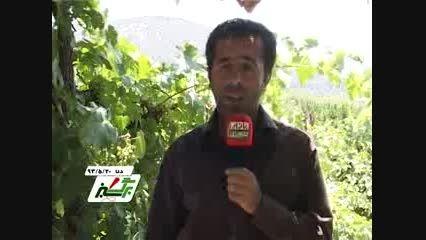 تاکستان های در استان کهگیلویه و بویر احمد