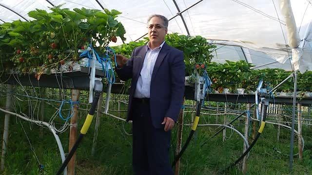 تولید توت فرنگی به روش کشت بدون خاک در حومه شهر ژنو