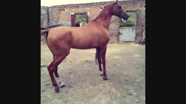 خرید اسب سیلمی ترکمن آخال تکه خانلرخان