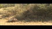 حمله پلنگ نر به پلنگ ماده