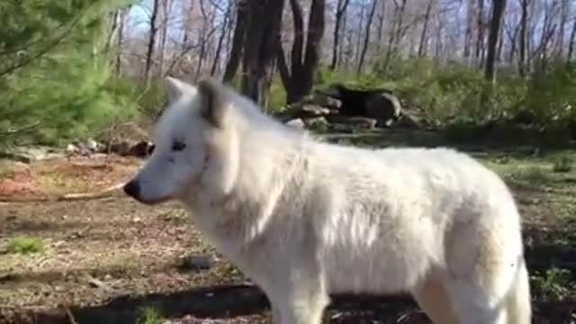 زوزه گرگ .. من عاشق گرگ هستم مخصوصا سفیدش