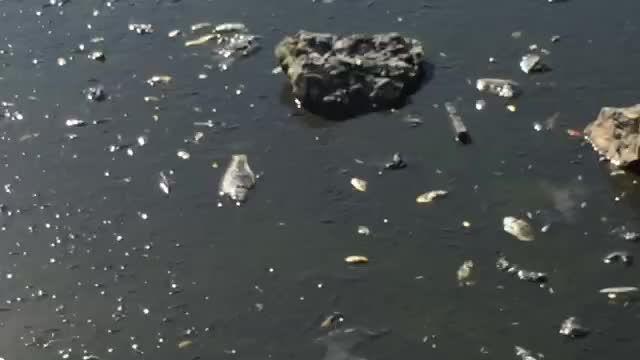 مرگ هزاران ماهی در زاینده رود بدلیل قطع شدن جریان آب 2