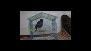 مرغ مینا- سخنگو