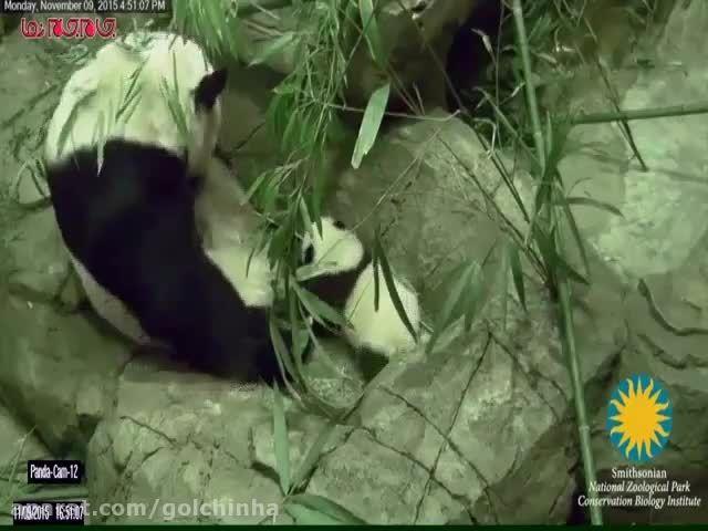 اولین گام های بچه پاندا در باغ وحش فیلم گلچین صفاسا