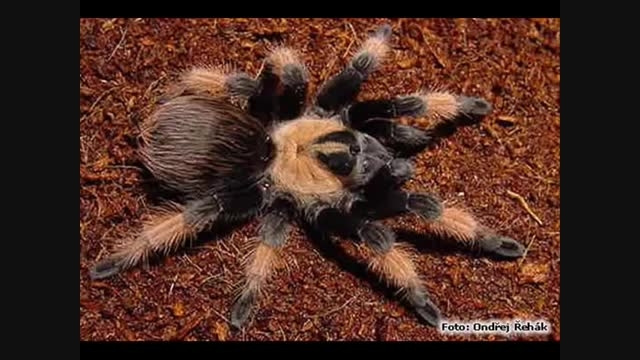 معرفی 10 عنکبوت کشنده در جهان