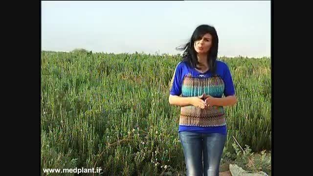 تولید گیاهان دارویی در فلسطین - بخش اول