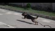 آموزش و تربیت سگ گارد حمله و دستگیری مجرم توسط دو سگ گارد