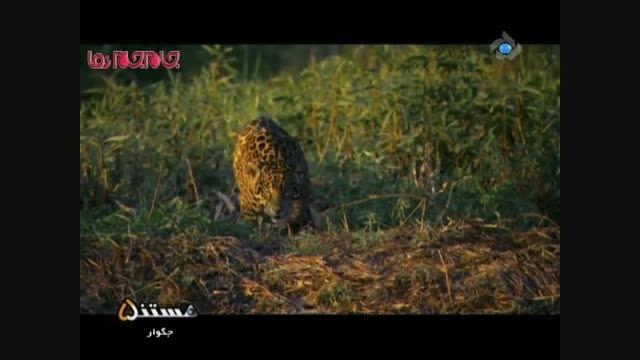 جگوار و شکار تمساح مستند حیات وحش فیلم کلیپ گلچین صفاسا