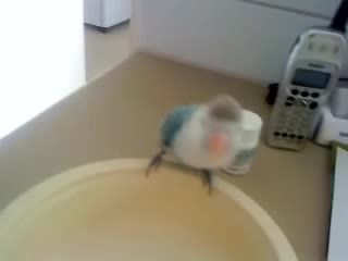 طوطی برزیلی سخنگو