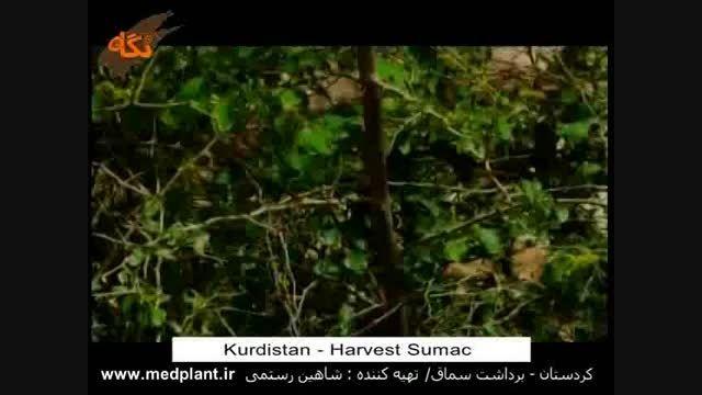 برداشت سماق در استان کردستان