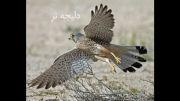 پرنده شکار (قوش)