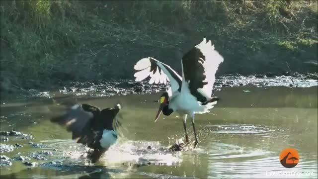 صحنه دیدنی- دزدین غذای لک لک توسط عقاب
