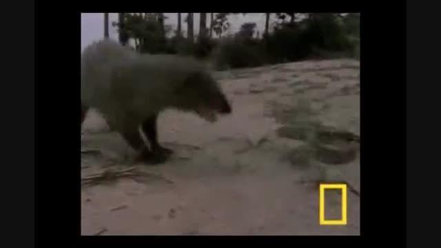 مبارزه حیوانات وحشی بزرگ با یک دیگر..بسیار دیدنی و جذاب