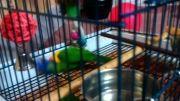 طوطی لوری رنگین کمانی ( rainbow parrot)