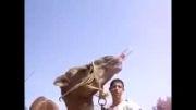 Camel drink coca