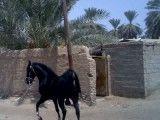 اسب عرب - اسب سیاه - سیاه شیراز